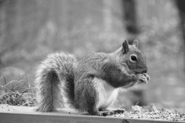 Dawn's Squirrel